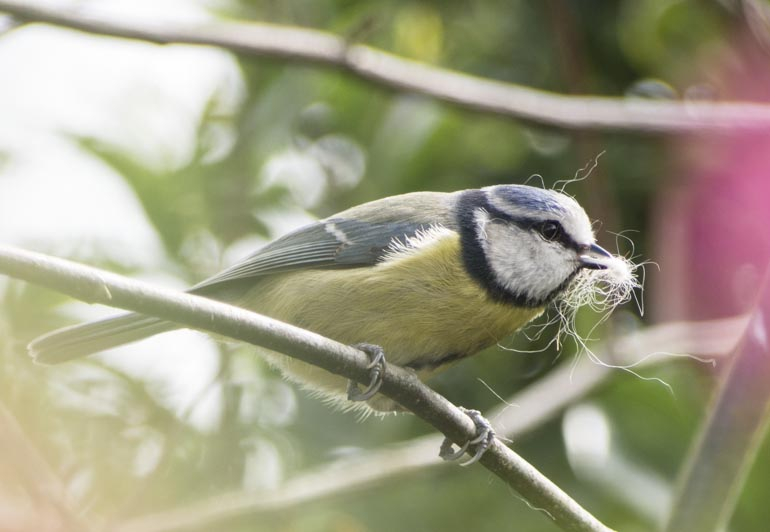 Blue tit with nesting material